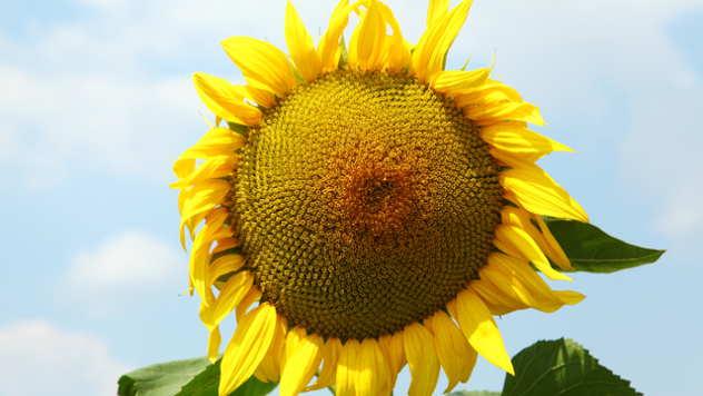 Suncokret - ©Agromedia