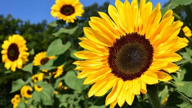 Suncokret: Korisni ukras svake bašte koji se lako gaji - © Pixabay
