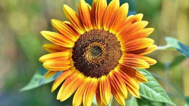 Suncokret: Korisni ukras svake bašte koji se lako gaji - © Agromedia
