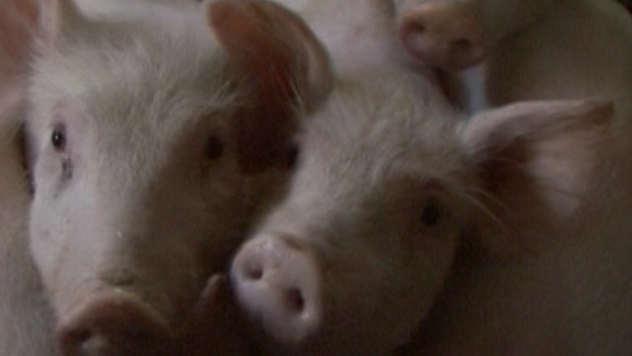 Razmatra se ukidanje vakcinacije protiv klasične kuge svinje - © Agromedia