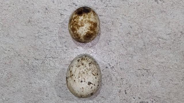 Jaje japanske prepelice – riznica vitamina i minerala- © Tanja Prolić/Agromedia