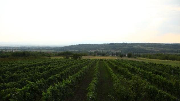 Vinograd - ©Agromedia
