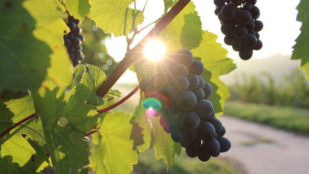 Vinograd © Pixabay