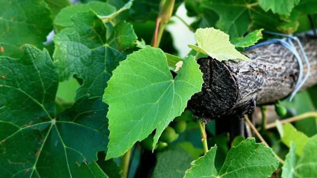 Lišće vinove loze: Zdrava hrana na dohvat ruke- © Pixabay