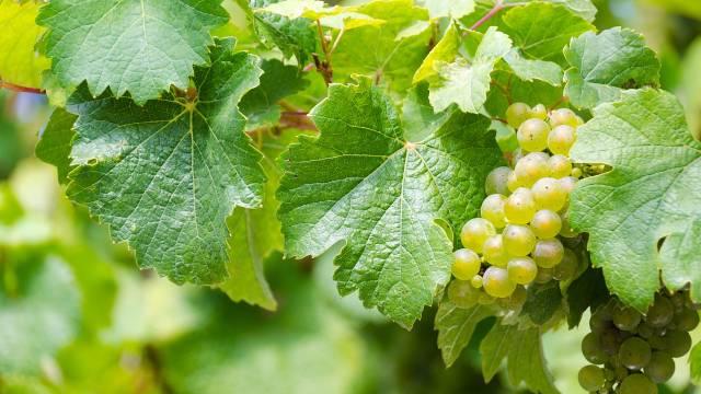 Lišće vinove loze: Zdravlje na dohvat ruke - © Pixabay