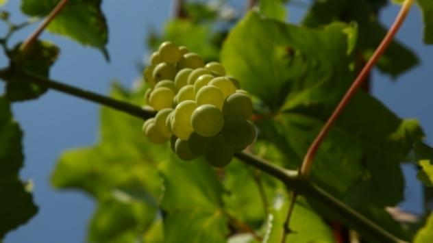 Vinova loza - © Foto: Agromedia