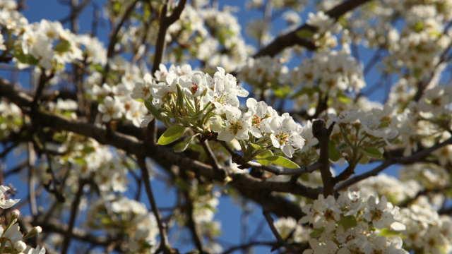 Voće u cvetu - ©Agromedia