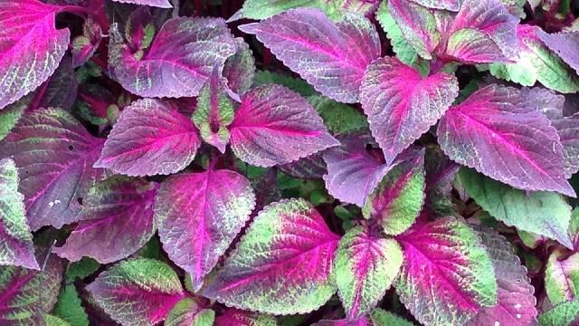 Kako se gaji perila: Mirisno, sočno i lekovito bilje-  © Pixabay