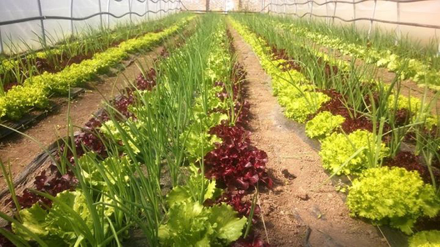 Zelena salata - © Agromedia