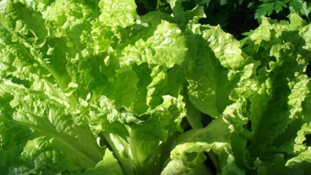 Zelena salata - freepic.com