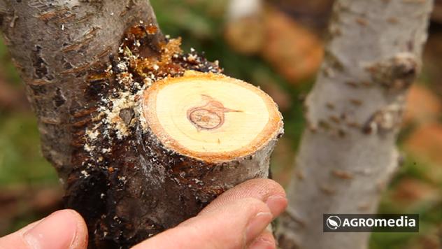 Stablo posle orezivanja © Agromedia