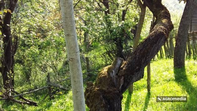 Iz panja kajsije izrastao orah © AGROmedia