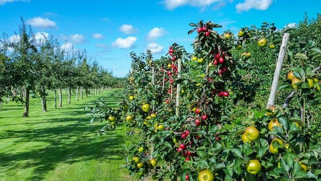 Zasad jabuka - © Pixabay