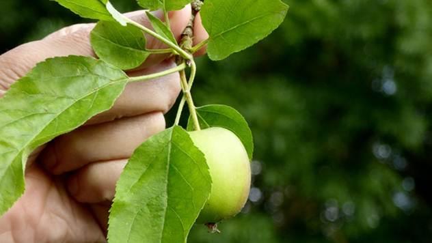 Branje jabuke - © Pixabay