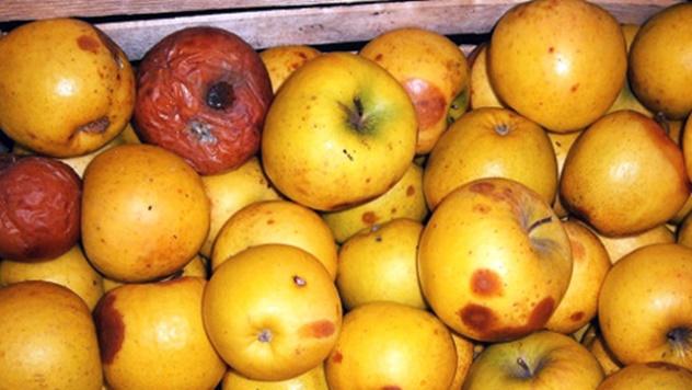 Trulež jabuke u skladištu - © Galenika-Fitofarmacija