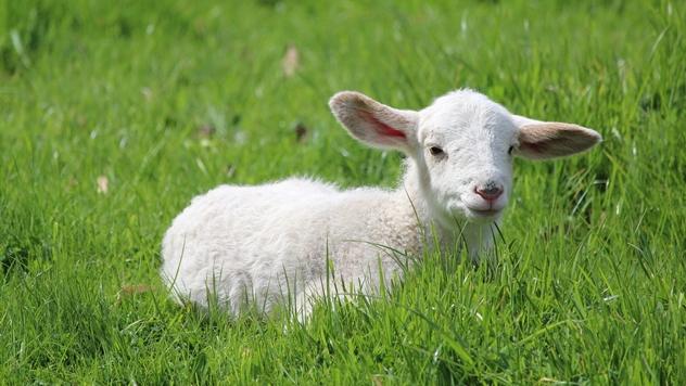 Malo jagnje - © Pixabay