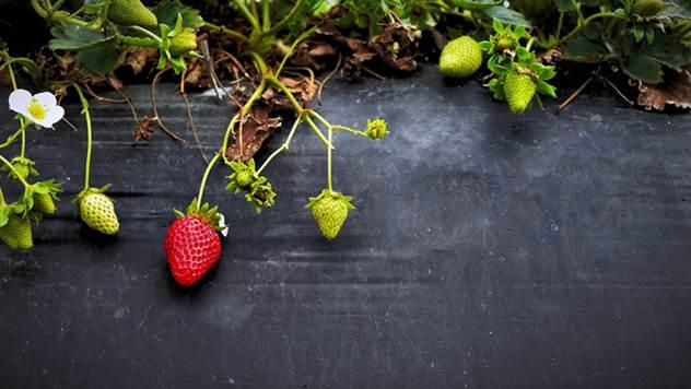 Kako da se rešite korova u jagodama - © Pixabay