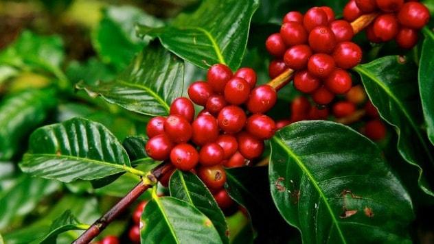 Polovini vrsta divlje kafe u svetu preti izumiranje - ©Pixabay