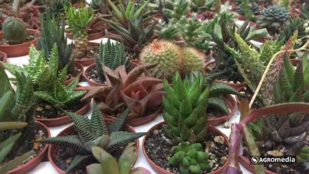 Minijaturni kaktusi © Agromedia