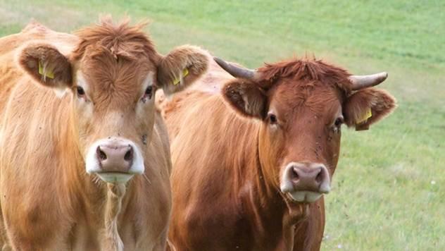 Subvencije za govedarstvo  @ Pixabay