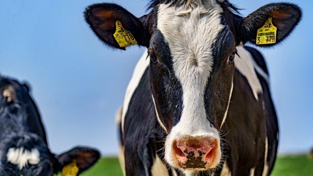 Najviše organskih krava u Nemačkoj - ©Pixabay
