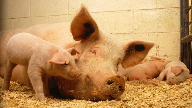 Svinje ne vole previše toplote - ©Pixabay