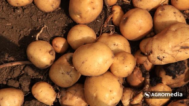 Nema mesta za Ivanjički krompir - © Agromedia