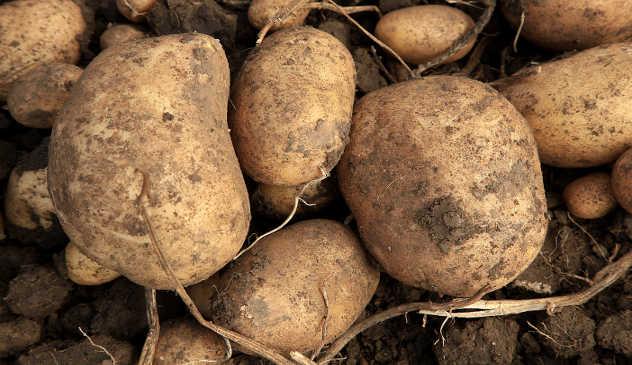 Krompir se u buretu sadi u više slojeva - ©Pixabay