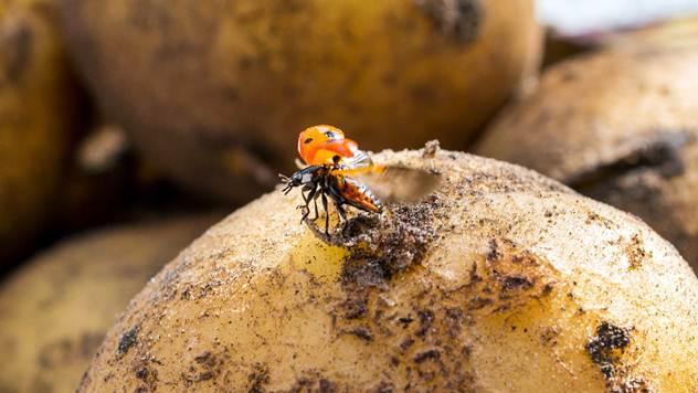 Krompirove zlatice protiv krompirovih zlatica - © Pixabay