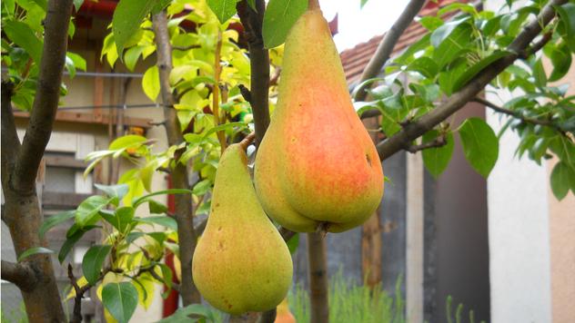 Plod kruške - © Agromedia