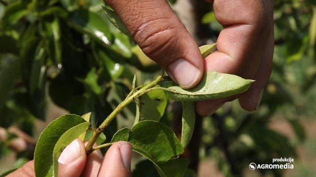 Kruškina buva u voćnjaku © Agromedia