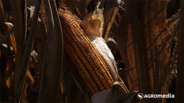 Kukuruz © Agromedia