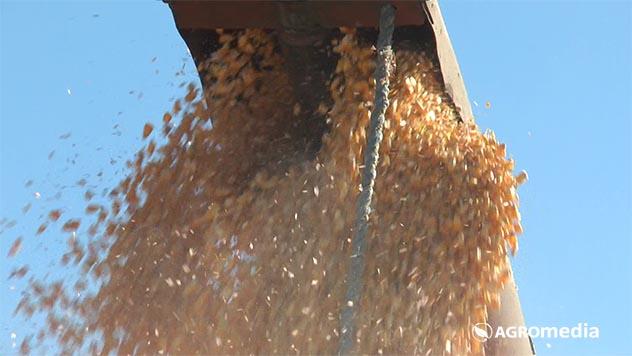 Rod kukuruza - © Agromedia