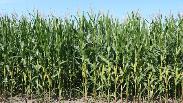 Zdrava biljka kukuruza - © Pixabay
