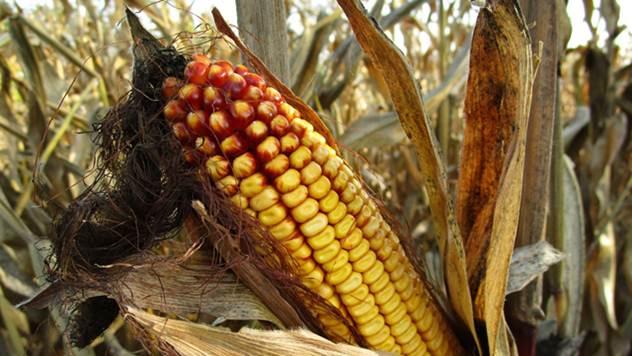 Ako se suša nastavi, prinosi kukuruza i soje biće manji za 60 odsto - © Pixabay