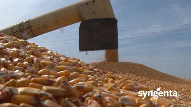 Atomic - hibrid kukuruza sa vrhunskim prinosima - © Syngenta