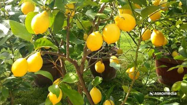 Limun © AGROmedia