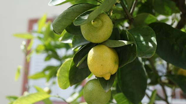 Limun možete gajiti i na terasi - © Pixabay