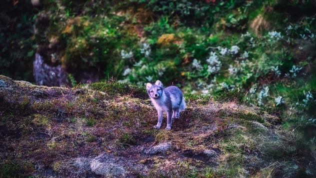 Lisice gaje baštu ©Pixabay