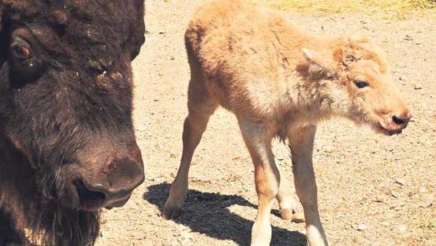 Beli bizon - Foto: Beo zoo vrt