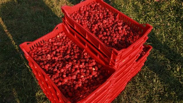 Akontna cena maline nije po volji proizvođača - © Agromedia