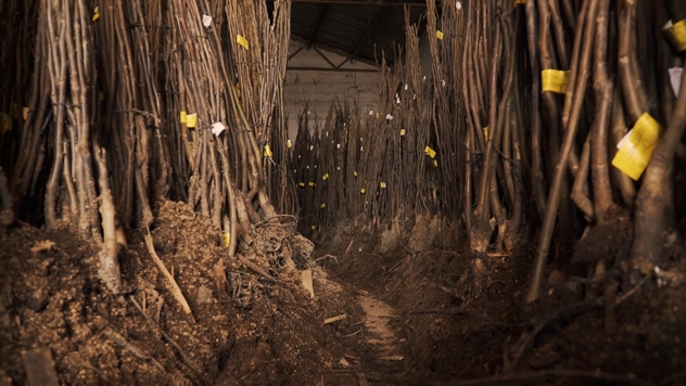 Misbell orah sadnice  - © Agromedia