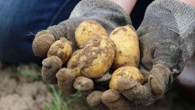 Sadnja krompira u buretu - ©Pixabay
