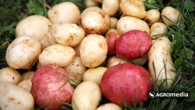 Krompir - © Agromedia