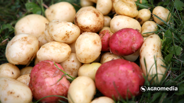 Uzgoj krompira bez kopanja - © Agromedia