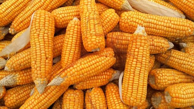 Organski kukuruz - © Pixabay