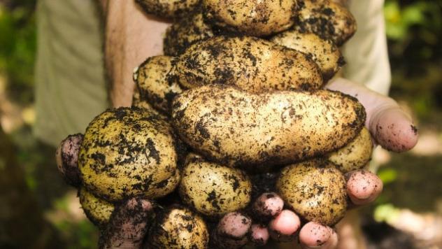 Organski krompir © Pixabay