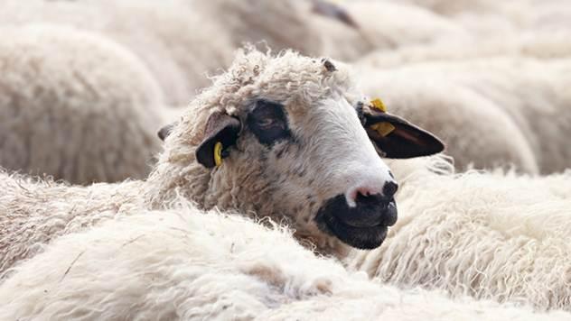 Genetski materijal određuje kvalitet mesa kod ovaca - © Pixabay