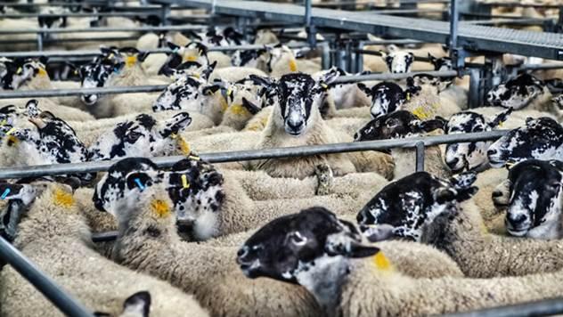 Javni poziv za dodelu podsticajnih sredstava u stočarstvo - © Pixabay