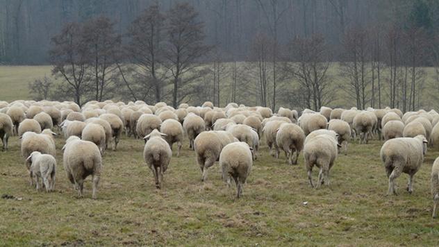 Prerada vune i izvoz ovčijeg mesa - © Pixabay